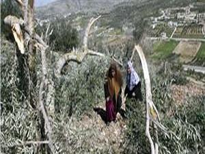 Filistinlilerin zeytin ağaçlarını söktüler