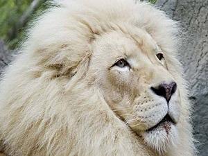 30 adet kalan beyaz dağ aslanı var olma savaşı veriyor