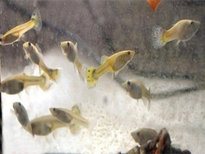 Balıklarla suda zehir testi yapılıyor