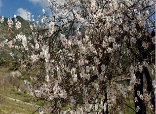 Edremit Körfezi'nde bademler çiçek açtı
