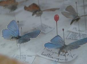 Bitlis kelebek ve güve faunası zengini