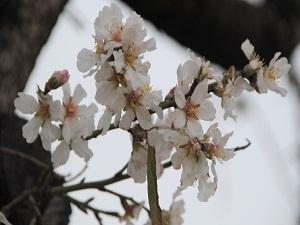 Baharın müjdecisi badem ağaçları çiçek açtı