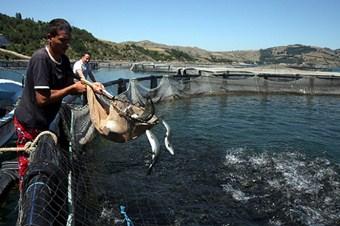 Dünyanın balığı kültür balıkçılığından