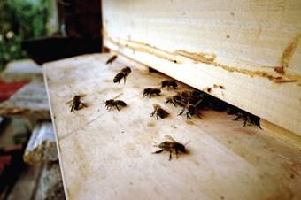 Hava sıcaklığı arıları olumsuz etkiliyor