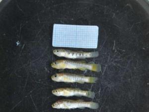 Yeni bir balık türü tespit edildi