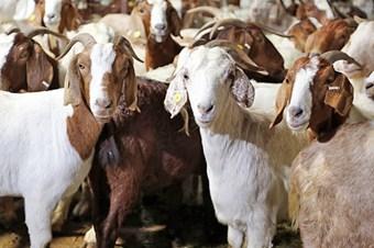 Danimarka'da hayvanlar bayıltılmadan kesilmeyecek