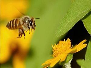 Bal arısıyla tedavi yöntemi