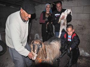 Halep keçisi doğurganlığı ve süt verimiyle yetiştiricini memnun ediyor