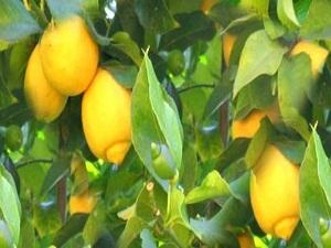 Türkiye Japonya'ya limon da satacak