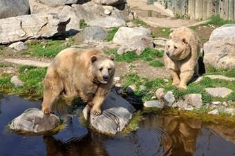 Sıcak hava ayıları uyutmadı