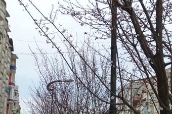 Bafra'da erik ağaçları erken çiçek açtı
