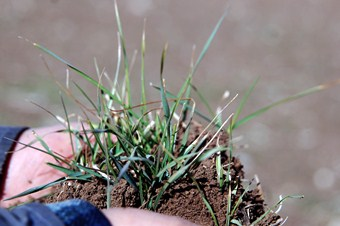 Kahramanmaraş'ta buğday tarlada çürüdü