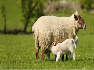 TZOB: Türkiye koyun sütü üretiminde dünyada ikinci