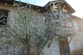 Baharın müjdecisi olan cemrenin ilki 20 Şubat'ta havaya düştü