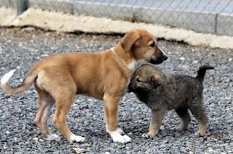 Köpekler duygu yüklü seslere insanlar gibi tepki veriyor