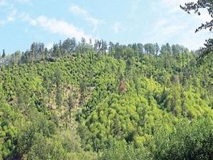 Hedef 100 milyon ağaç