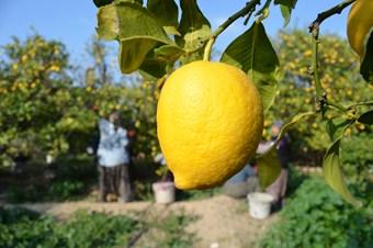 Sezon sonu limon yüz güldürdü