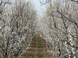 Ağaçlar erken çiçek açtı, çiftçiler tedirgin