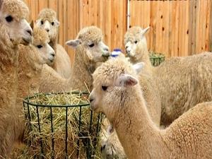 Selçuk Üniversitesi'nde Alpaka heyecanı