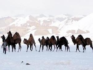 2100 rakımda güreş devesi yetiştiriyorlar