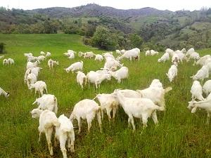 Saanen Keçileri Yetiştiricilerin Yüzünü Güldürüyor