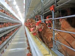 Kanat fiyatı arttı, bütün tavuk ucuzladı
