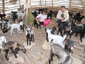 Keçi yavrularını 15 Nisan'a kadar 'oğlaklıkta' koruyarak yetiştiriyorlar