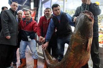 Sazan ağına 210 kilogramlık yayın balığı takıldı