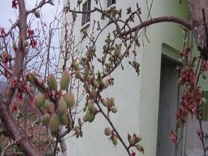 Bu ağaç 6 çeşit meyve veriyor