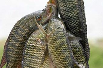 Tilapia balığı Türkiye'de ilk defa Budaklı Kaplıcası'nda yetiştirilecek