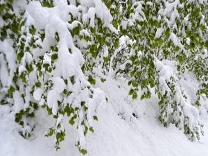 Fındığı Kar Vurdu