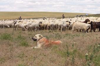 Başkent'in sürüleri sertifikalı çobanlara emanet