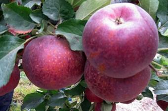 Elma ağaçlarını soğuktan don vurdu, üretici şaşkın