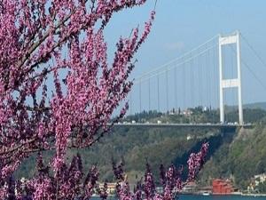 Baharın habercisi erguvanlar Boğaz'ı süsledi