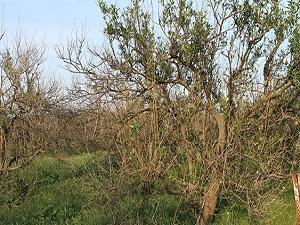 Muğla'da soğuk vuran limon ağaçları kurudu