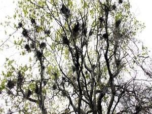 Bir ağaçta 20 kuş yuvası