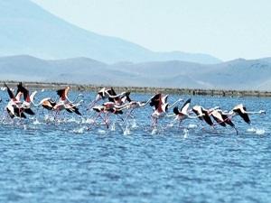 Sultan Sazlığı'nda flamingo sevinci