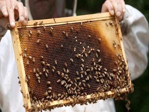 Arıcılar bal hasadına başladı