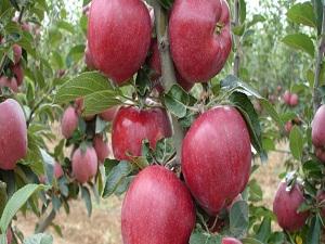 Don zararı elmada fiyatları yükseltecek mi?