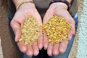 Dünyaca ünlü bilimadamları buğdaydaki 'sarı pas' hastalığını konuşacak