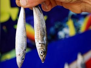 Kültür balıkları sağlık açısından risk taşımıyor