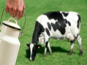 İnek sütünde 'şeker hastalığı' riski!