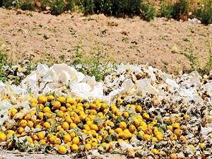 Depolarda çürüyen limonlar güneşte kurutulup yakacak olarak kullanılıyor