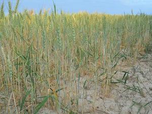 Çiftçiler buğdayda verimin düşük olmasından şikayetçi