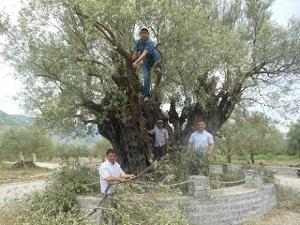 1650 Yaşındaki Zeytin Ağacı