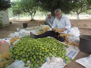 Kaliteli incir için ilekleme önemli