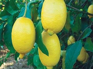Limon fiyatları el yakacak