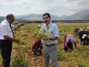 Tunceli'de organik fasulye hasadı