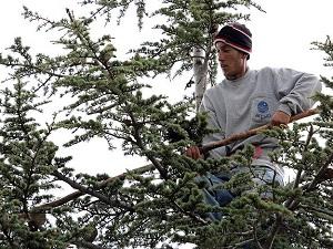 Ekmeklerini ağaçtan çıkartıyorlar