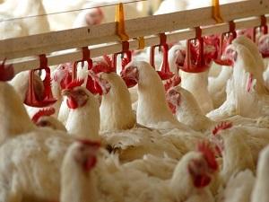 Türk beyaz et sektörü Rus pazarını fethediyor